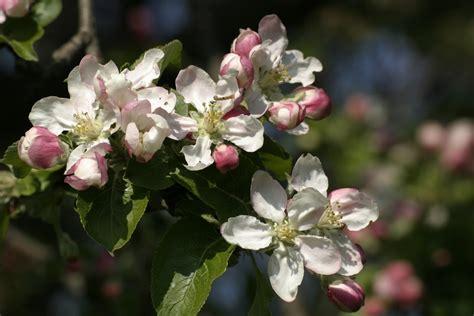 Free Images : branch blossom fruit flower petal food