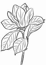 Magnolia Coloring Printable Getcolorings Magno Getdrawings sketch template