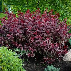 Purple Leaf Sandcherry Shrubs For Sale  The Tree Center™