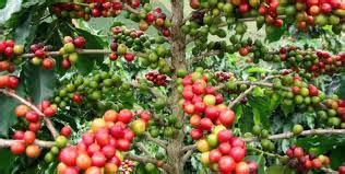 According to the ministry of agriculture and animal resources, the annual coffee income has increased from $38 million in 1994 to more than $62.4 million in. Coffee Plantation Tour Lake Kivu in Rwanda - 2021