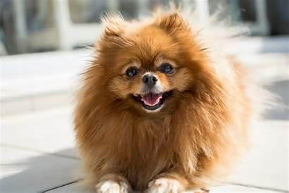 Dog Breeds Dogs Kleine Popular Breed Pet