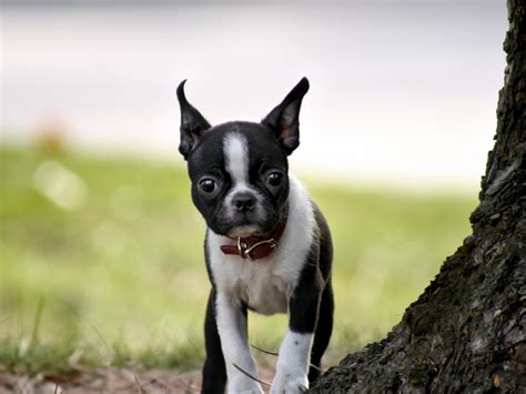 boston terrier puppies hd wallpaper background images