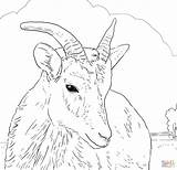 Sheep Coloring Horn Bighorn Female Pages Printable Horns Dall Drawing Rams Drawings Supercoloring Dot Again Bar Looking Case Don Learny sketch template