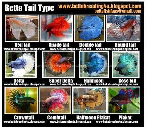 kind  betta tropical fish keeping aquarium
