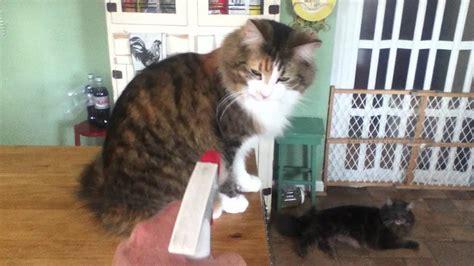 training cat  spray bottle youtube
