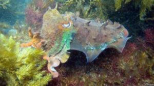 BBC Nature - In Pictures: Cuttlefish camouflage