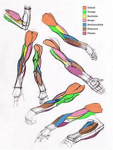 62 Best Anatomy  Shoulder  U0026 Arm Images On Pinterest