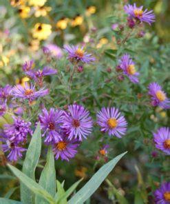 jual tanaman aster pikok ungu bibitbungacom