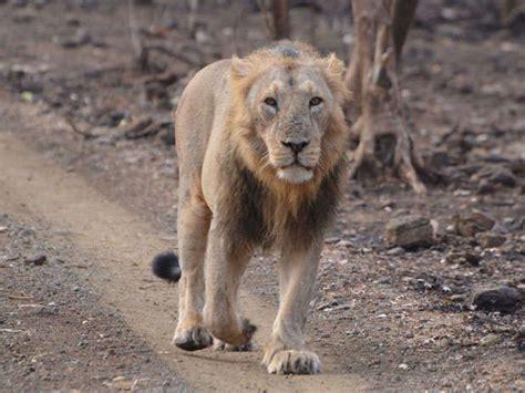 Zsl's Asiatic Lions Campaign