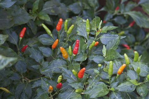 can birds eye chili help in weight loss what s the