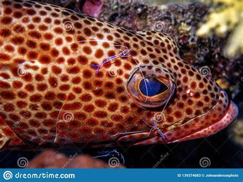 grouper cleaner shrimp cruentata cephalopholis feeding
