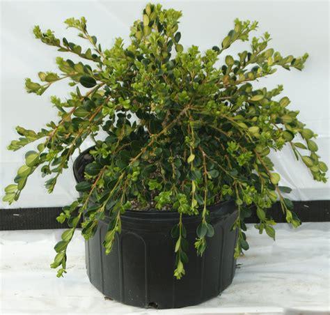 Buxus sempervirens Unraveled Kiefer Nursery: Trees
