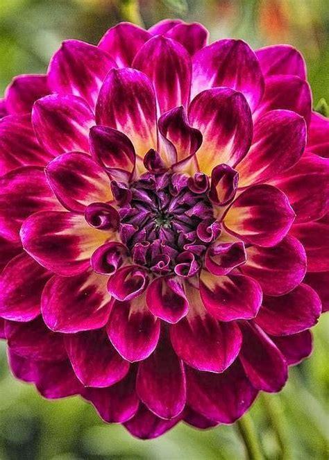 797 Best Dahlias Images On Pinterest Pretty Flowers