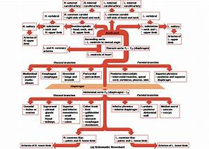 Trending Arteries Resources On Meducation