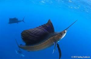 Sailfish Odyssey Scuba Diver Life