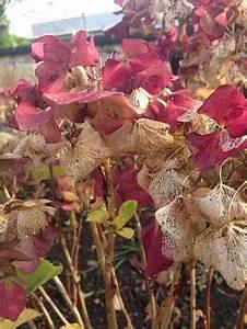 Wie Lange Blühen Hortensien : wann schneide ich meine hortensie zur ck balcony garden ~ Frokenaadalensverden.com Haus und Dekorationen