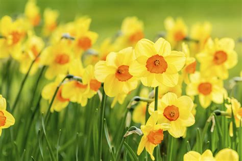 narcissus plant info jonquil narcissus and daffodil bulbs