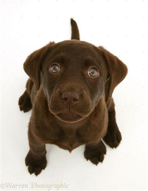 Dog Chocolate La Dor Retriever Pup Sitting And Lo Ng Up P O Wp