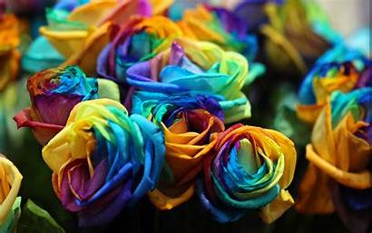Rose Rainbow Roses Colorful Flower Wallpapers Colors