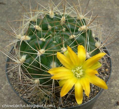 Weingartia lanata แคคตัสทรงสวย ดอกสดใส | Chow Cactus
