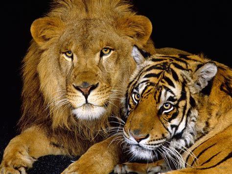 Big Cats Wild Animals Photo 3633223 Fanpop Page 7
