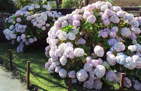 hydrangea flower care hydrangea how to plant grow and care for hydrangea newhairstylesformen2014 com