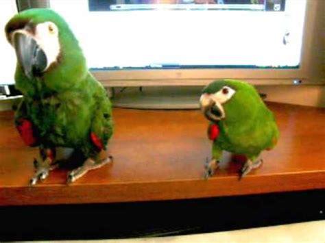 mini macaw imabird com two mini macaws enjoying dust in the wind youtube