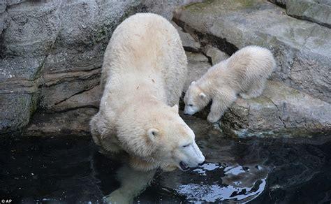 polar bear cub melts hearts     debut
