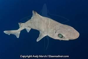 Dumb Gulper Shark | www.pixshark.com - Images Galleries ...