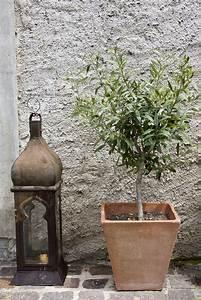 Olivenbaum Im Topf : olivenbaum d ngen expertentipps anleitung plantura ~ Michelbontemps.com Haus und Dekorationen