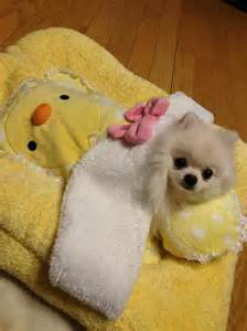 Cute Pomeranian Puppies Dogs