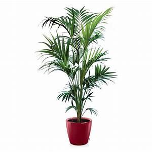 Pot Pour Plante Intérieur : kentia hauteur 180 200cm rempot dans pot lechuza classico premium 35 rouge hauteur avec pot ~ Melissatoandfro.com Idées de Décoration