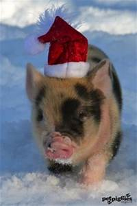 Little black piggy with Santa hat