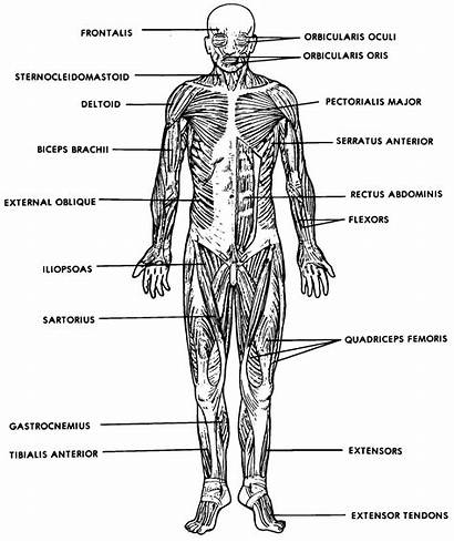 Human System Anatomy Diagram Physiology Muscle Muscular