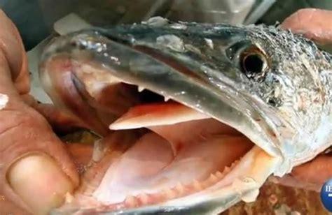 snakehead fish bullseye species