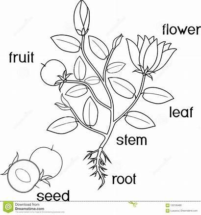 Plant Coloring Parts Fruit Root Flowers Flowering