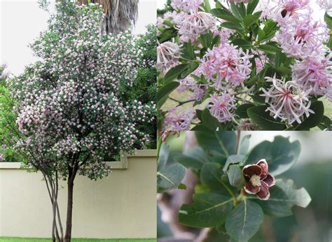 wisteria roots near house bladdernut tree for sale beatiful tree