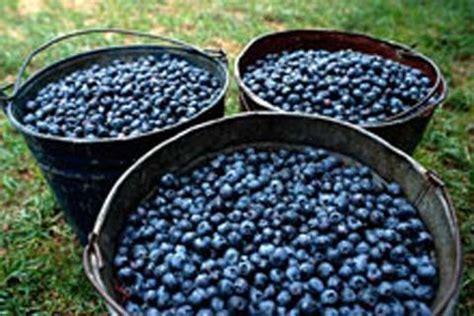 images  wild blueberry harvest  pinterest