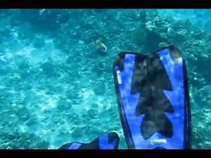 Balistoides viridescens Attacks,Titan triggerfish ...
