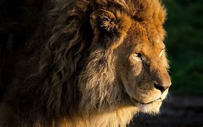 Lion Male Huge Wallpapers Animals Resolution Desktop