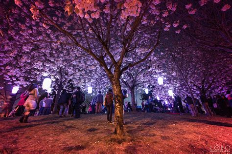 spring lights illumination vancouver cherry blossom