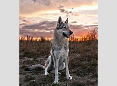 heat Czechoslovakian Wolfdog