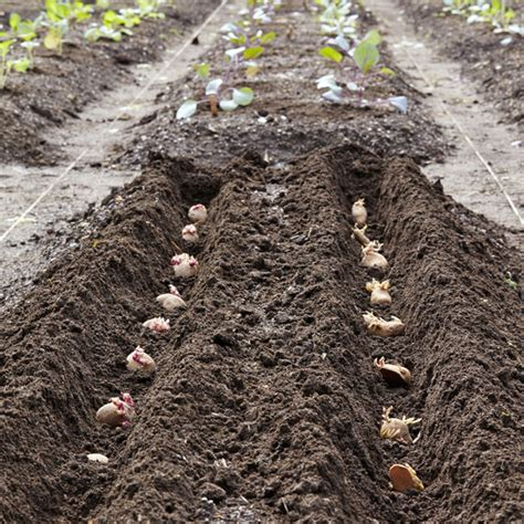 how to potatoes from garden how to plant potatoes martha stewart