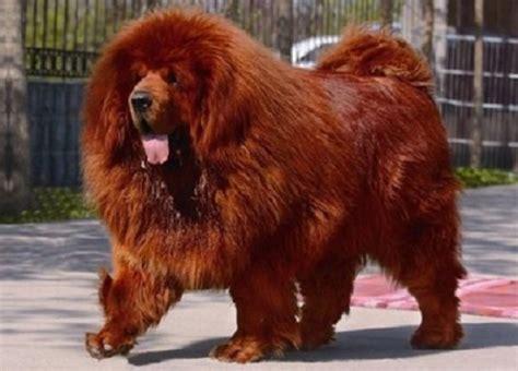le canapé le plus cher du monde le chien le plus cher du monde potins buzz