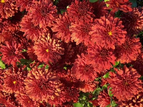 when to plant mums plant mums plants