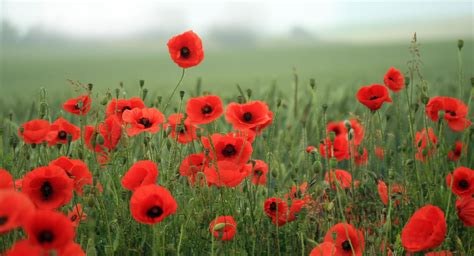 remberance poppy remembrance day poppy how do you wear yours