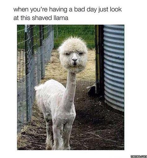 Shaved Llama Meme - this shaved llama memes com
