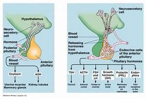 Anterior Pituitary  Acidophils