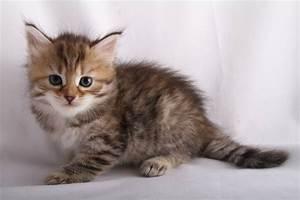 Alexandrite Siberians: Fe's Kitten - Brown Mackerel Tabby ...