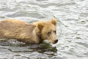 Geschirrspüler Wasser Bleibt Stehen : kostenlose bild grizzlyb r junges stehen wasser ~ Frokenaadalensverden.com Haus und Dekorationen